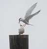 common tern brings shrimp to its mate
