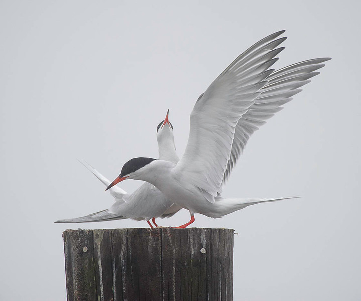 common tern pair courtship behavior