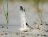 least tern stretches its wings