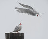 foster's tern brings food to its mate