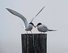 foster's tern tern feeds mate a small shrimp