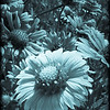 Indian Blanket in Cyanotype