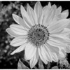 Sunflower in Black and White