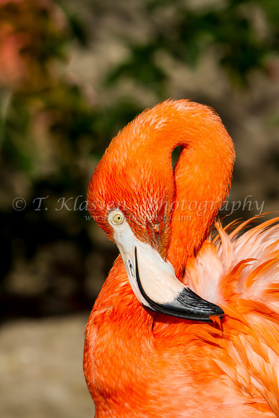 Close up of an American Flamingo at the Gladys Porter Zoo in Brownsville, Texas, USA.