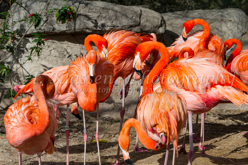 American Flamingos at the Gladys Porter Zoo in Brownsville, Texas, USA.