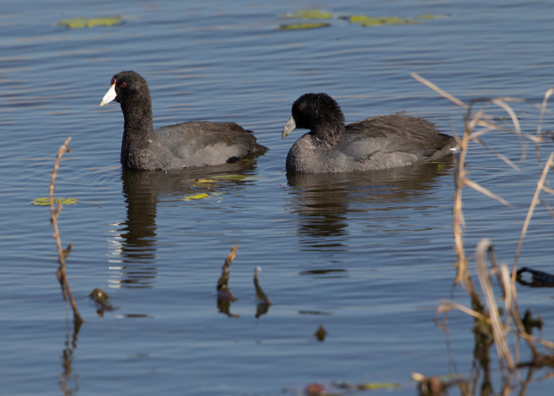 American Coot (Fulica americana). Near Shoveler Pond, Anahuac National Wildlife Refuge, Texas.