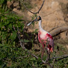 Roseate Spoonbill (Platalea ajaja).  Adult. Smith Oaks Rookery, High Island, Texas.