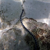 The venomous sea snake of Asia