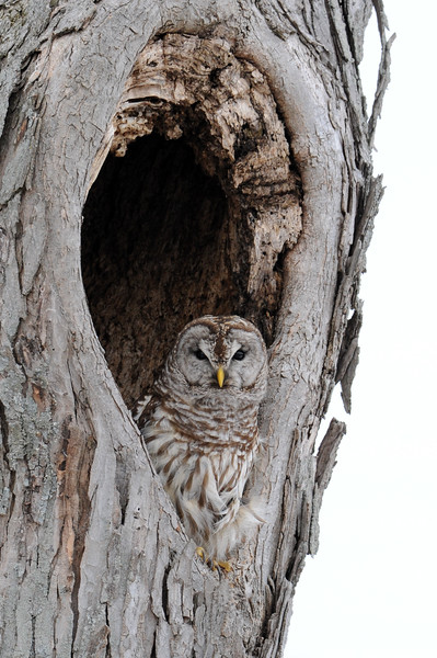 Barred Owl nesting in a tree along highway 42 in Western Clay County, IN