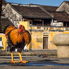 Rooster on the River, Hoi An