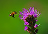 Kung Fu Bee. It looks like this bee plans to chop down this Blazing Star plant with its swift Kung Fu bee moves