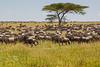 The magnificent Wildebeest migration across Serengeti National Park, seemingly endless! (photo by Kerry Brooks)