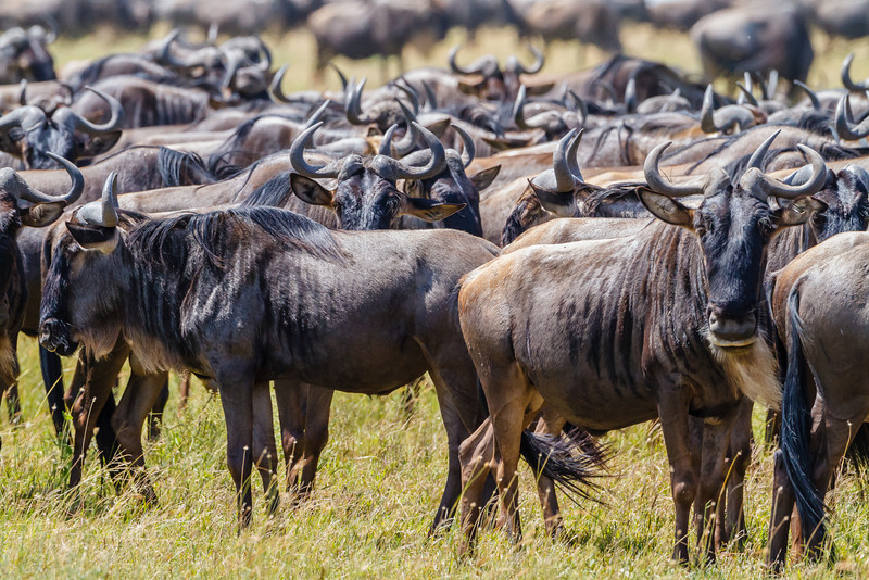 Wildebeest by the gazillion!