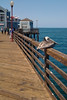 A Brown Pelican perches on the railing at Oceanside Pier.