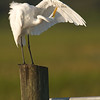 Great Egret, Joe Overstreet Landing, Fl