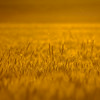 Palouse Wheat Field