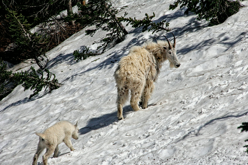 Mountain Goat & Her Kid