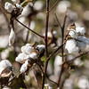 Cotton Bolls ready for the harvest