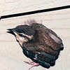Wren Fledgling on First Flight  5-18-95