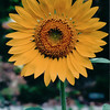 Sunflower - Aug. 2000
