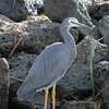 White Faced Heron (Egretta novaehollandiae)