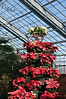 Poinsettias feature prominently in the Christmas decorations.  This is a poinsettia tower in the guise of a Christmas tree.  The Conservatory at Matthaei Botanical Gardens Ann Arbor, Michigan November 27, 2012