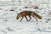 Red fox, Prudhoe Bay, Alaska