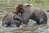 Grizzly Bears, Fortress of the Bear, Sitka