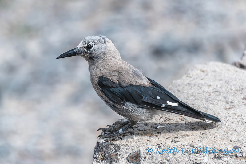 Clark's Nutcracker, Crater Lake, Oregon