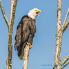 Bald Eagle, Fir Island