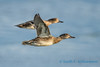 Female Mallards, Samish Flats
