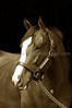 INDIAN OCEAN <br /> (Stormy Atlantic-Indian Halo) <br /> at Bridlewood Farm