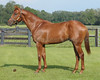 """2009 OBS  August Select Yearling<br /> Hip 129<br /> """"Gold Pen"""" Perfect Soul-Peccadillo 08c"""