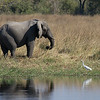 Elephant and Great White Egret