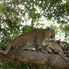 Leopard on Duikar Kill