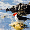 Yellow Billed Cardinal, Holoholokai Beach Park
