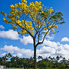 Primavera Gold Tree, Hilo