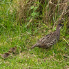 Erkel's Francolin and chicks