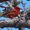 Iʻiwi (Hawaiian Honeycreeper)