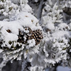 Rime Ice on Pinecone, Yellowstone