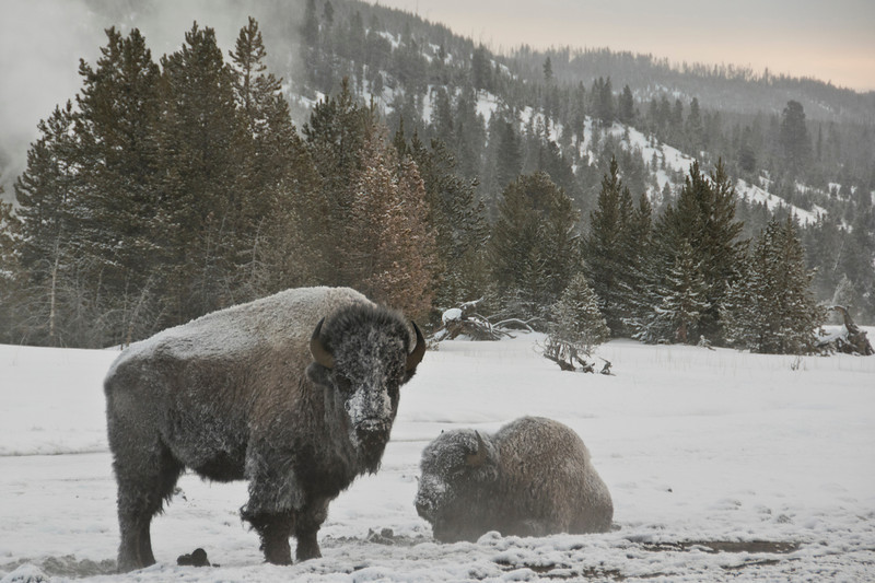 Bison Near Old Faithful, Yellowstone