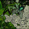 Greenbottle on everlasting