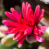 Red Ice Plant bloom