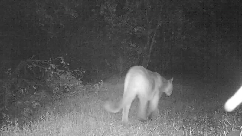in this video you will see 2 flashes from homebrew trail cam, one capture the mtn Lion in perfect position and the other flash was only tail