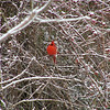 LR, BWCNA, Bikeway, Trail, Nature, Bird, Red, Cardinal, Berries, Winter, snow
