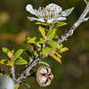 Manuka (Leptospermum scoparium) flower and seed capsule, Caples River