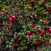 Snowberry. Probably Mountain Snowberry (Gaultheria depressa novae-zealandiae). Green Lake