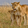 I love you Mum, Lions in the Mara - Wendy Collens - Farnborough
