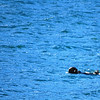 2-28-14  Otters, blintzes,  Zachar Bay AK 020