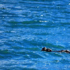 2-28-14  Otters, blintzes,  Zachar Bay AK 037